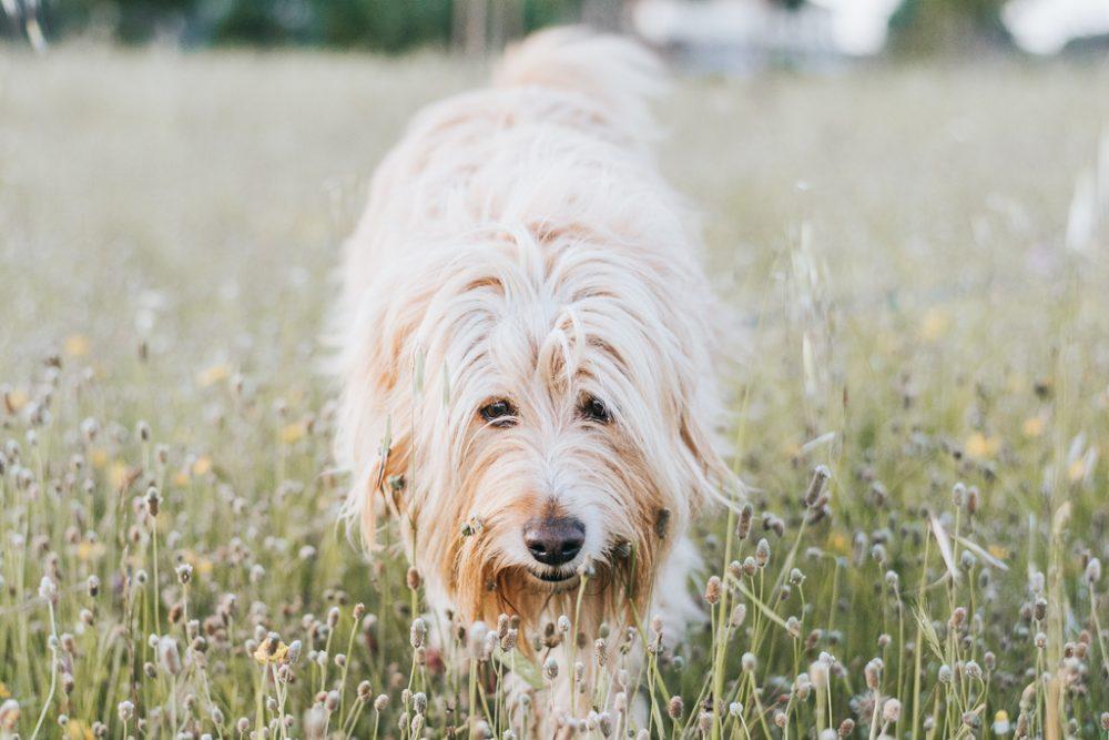 cão em campo de flores por basti fotografia de animais pet photography
