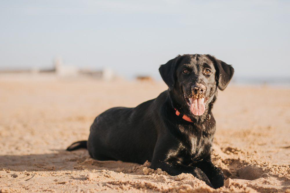 cão labrador preto na praia por basti fotografia de animais pet photography