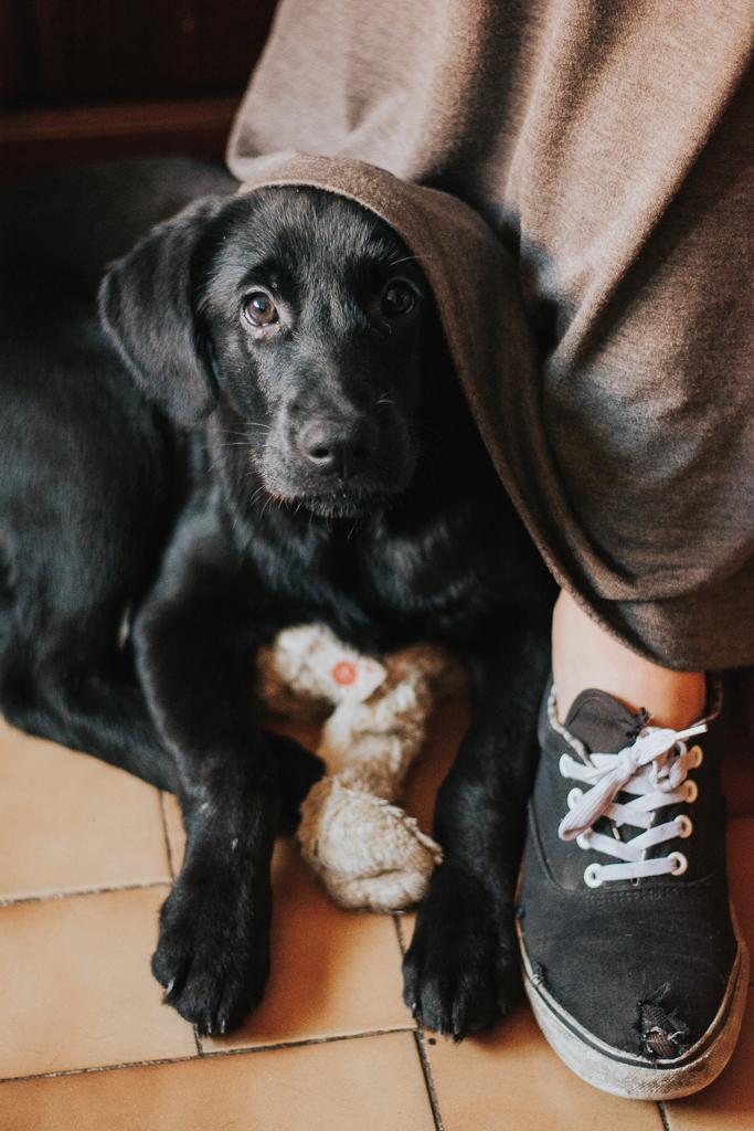 cão labrador preto em baixo da saia da dona pela basti pet photography fotografia de animais