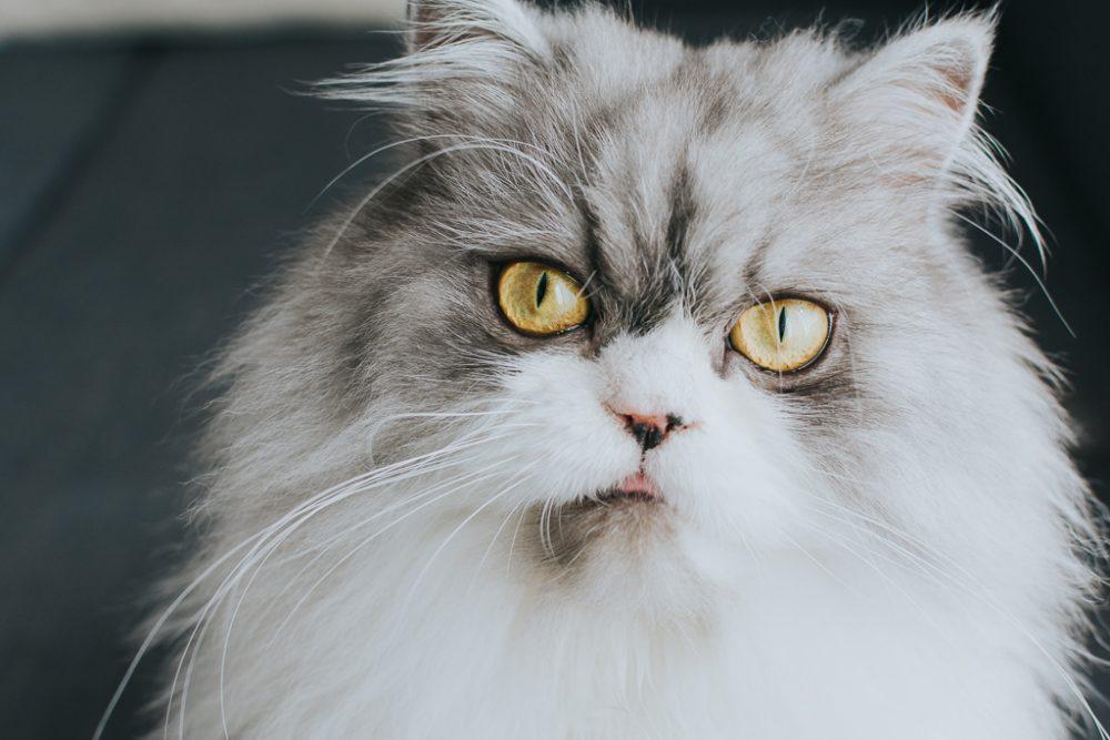 retrato de um gato por basti fotografia de animais pet photography