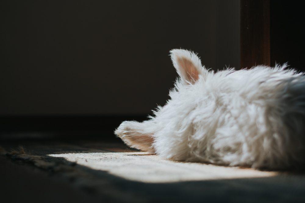cão west highland terrier a dormir ao sol de costas por basti fotografia de animais pet photography