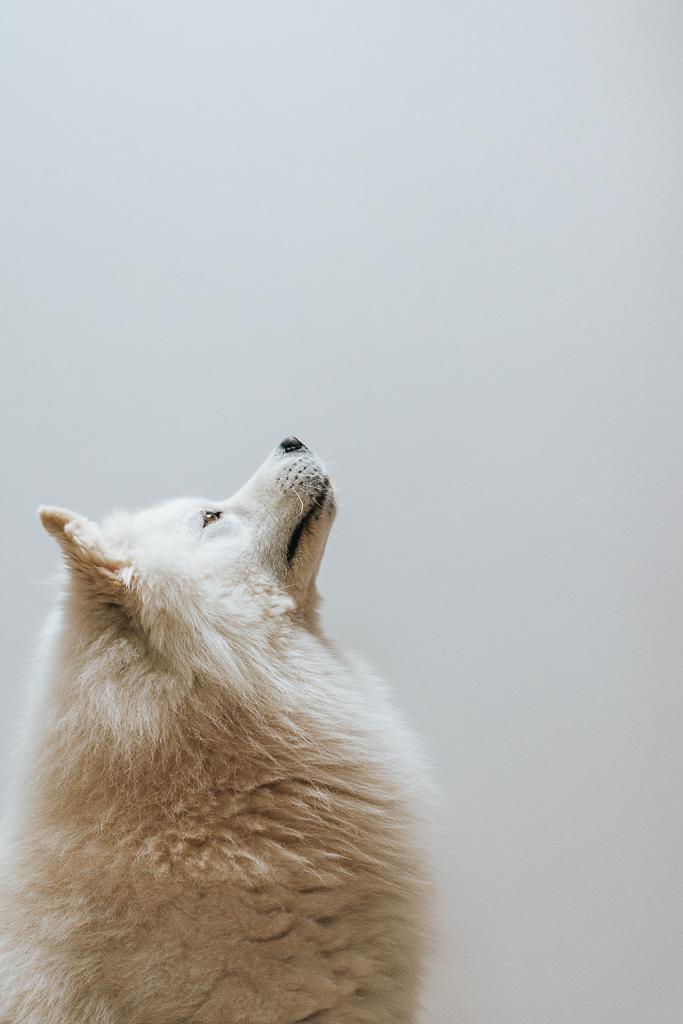 retrato cão samioedo branco por basti fotografia de animais pet photography